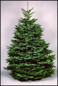 No needle drop noble fir